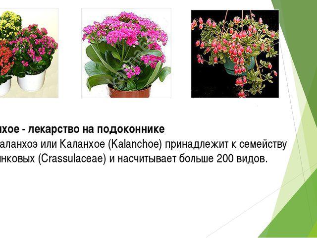 Каланхое - лекарство на подоконнике Род Каланхоэ или Каланхое (Kalanchoe) при...