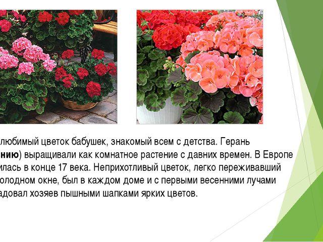 Герань - любимый цветок бабушек, знакомый всем с детства. Герань (Пеларгонию)...