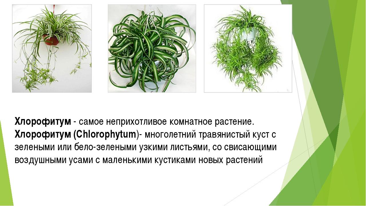 Хлорофитум - самое неприхотливое комнатное растение. Хлорофитум (Chlorophytum...
