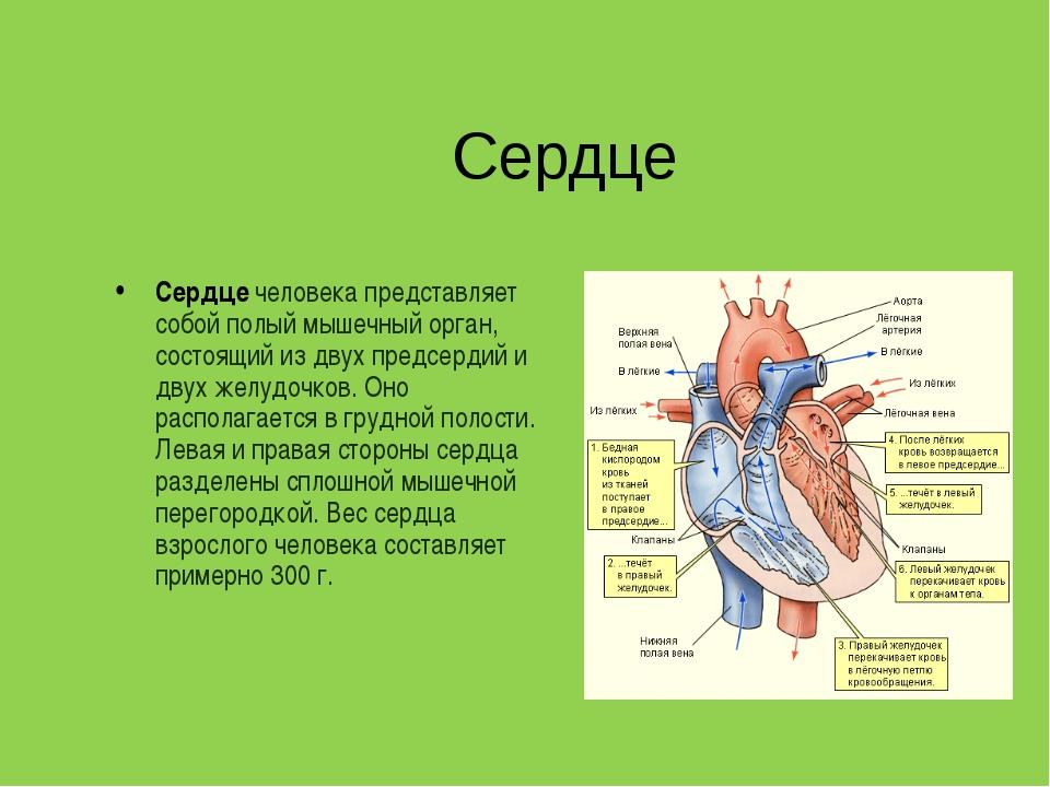 Сердце Сердце человека представляет собой полый мышечный орган, состоящий из...