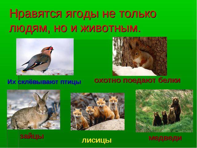 Нравятся ягоды не только людям, но и животным. Их склёвывают птицы охотно пое...