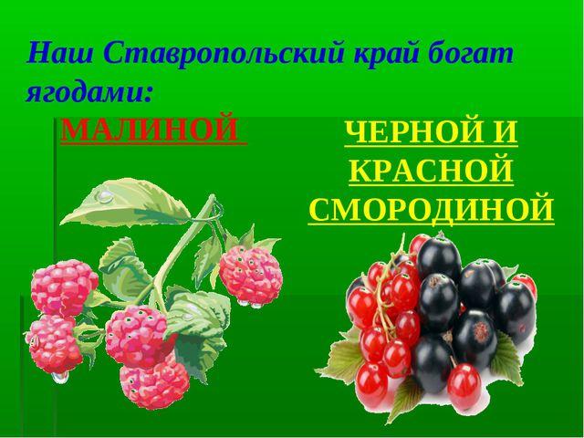МАЛИНОЙ ЧЕРНОЙ И КРАСНОЙ СМОРОДИНОЙ Наш Ставропольский край богат ягодами: