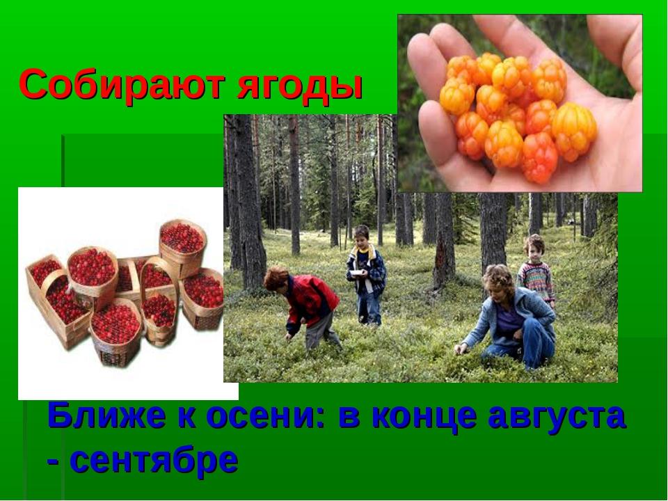 Ближе к осени: в конце августа - сентябре Собирают ягоды