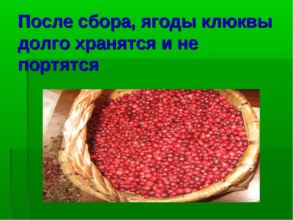 После сбора, ягоды клюквы долго хранятся и не портятся