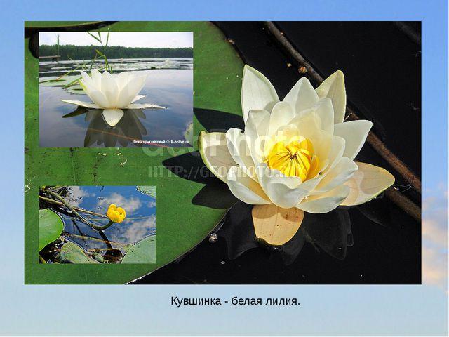 Кувшинка - белая лилия.