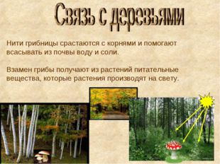 Нити грибницы срастаются с корнями и помогают всасывать из почвы воду и соли.