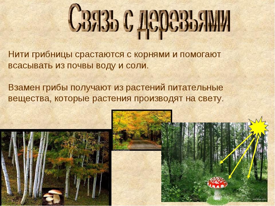 Нити грибницы срастаются с корнями и помогают всасывать из почвы воду и соли....