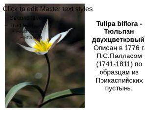 Tulipa biflora - Тюльпан двухцветковый Описан в 1776 г. П.С.Палласом (1741-18