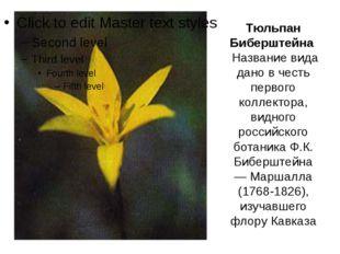 Тюльпан Биберштейна Название вида дано в честь первого коллектора, видного ро