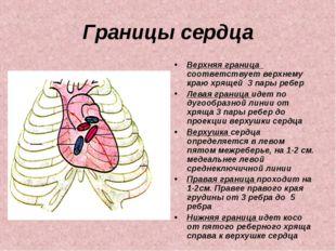 Границы сердца Верхняя граница соответствует верхнему краю хрящей 3 пары ребе
