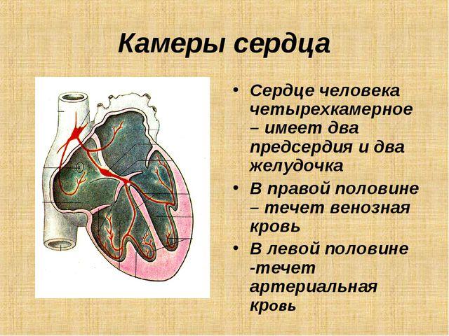 Камеры сердца Сердце человека четырехкамерное – имеет два предсердия и два же...