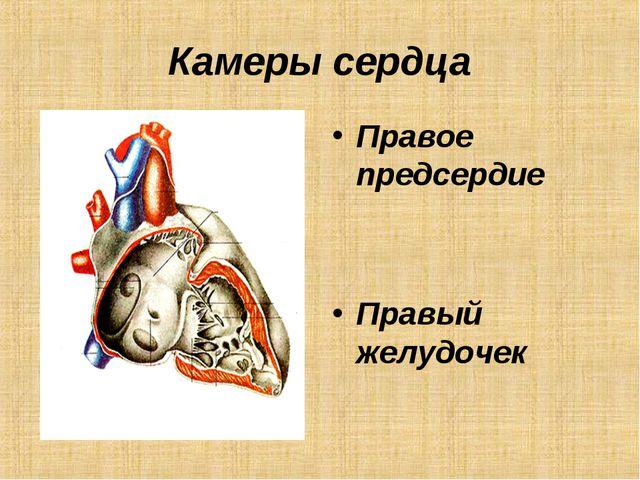 Камеры сердца Правое предсердие Правый желудочек