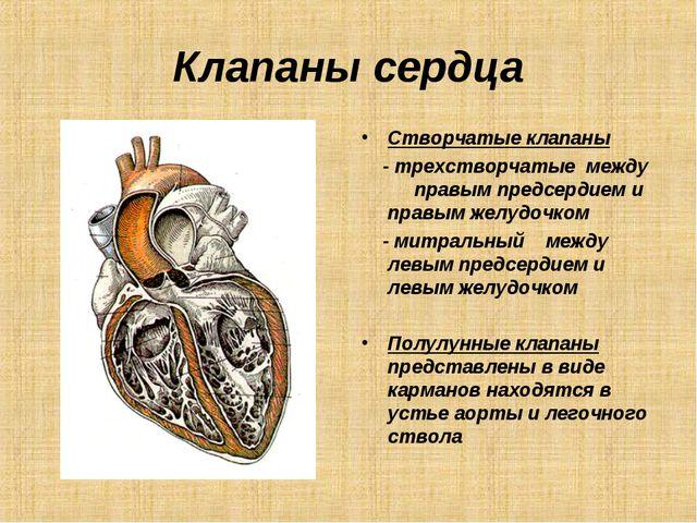 Клапаны сердца Створчатые клапаны - трехстворчатые между правым предсердием и...