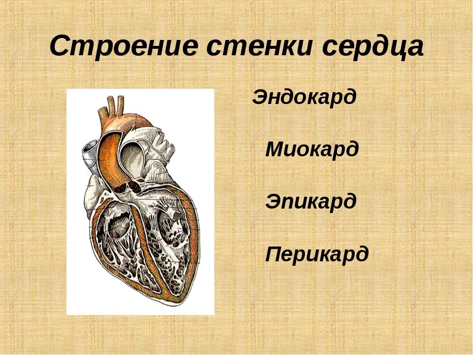 Строение стенки сердца Эндокард Миокард Эпикард Перикард