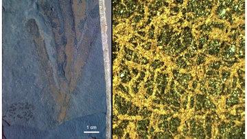 Ископаемая губка из формации Берджесс-Шейл с хорошо сохранившимся скелетом