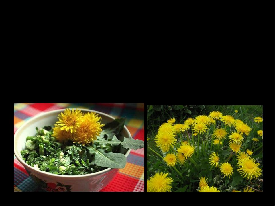 Одуванчик Молодые листья одуванчика используют для приготовления острых салат...