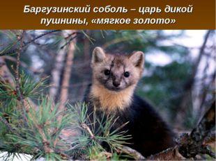 Баргузинский соболь – царь дикой пушнины, «мягкое золото»