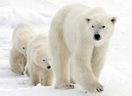 Доклад о белом медведе для детей