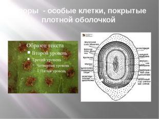 Споры - особые клетки, покрытые плотной оболочкой