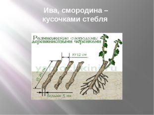 Ива, смородина – кусочками стебля