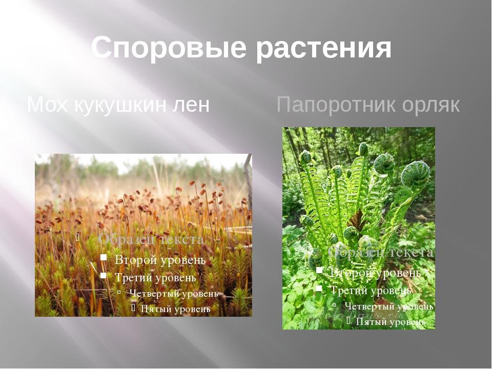 Споровые растения Мох кукушкин лен Папоротник орляк