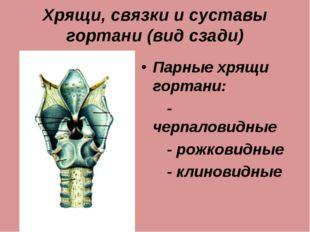 Хрящи, связки и суставы гортани (вид сзади) Парные хрящи гортани: - черпалови