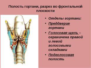 Полость гортани, разрез во фронтальной плоскости Отделы гортани: Преддверие г