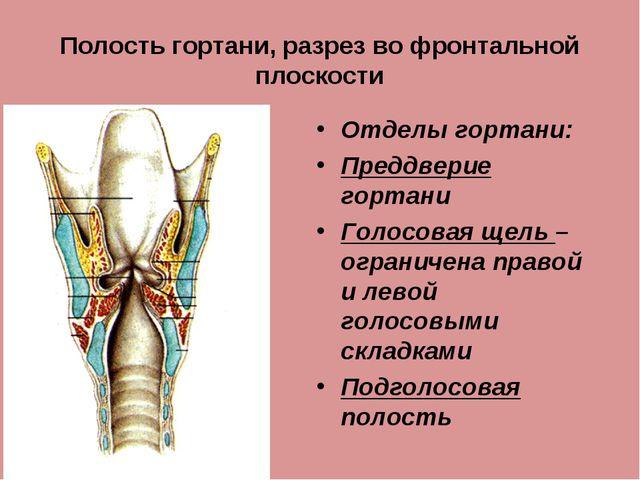 Полость гортани, разрез во фронтальной плоскости Отделы гортани: Преддверие г...
