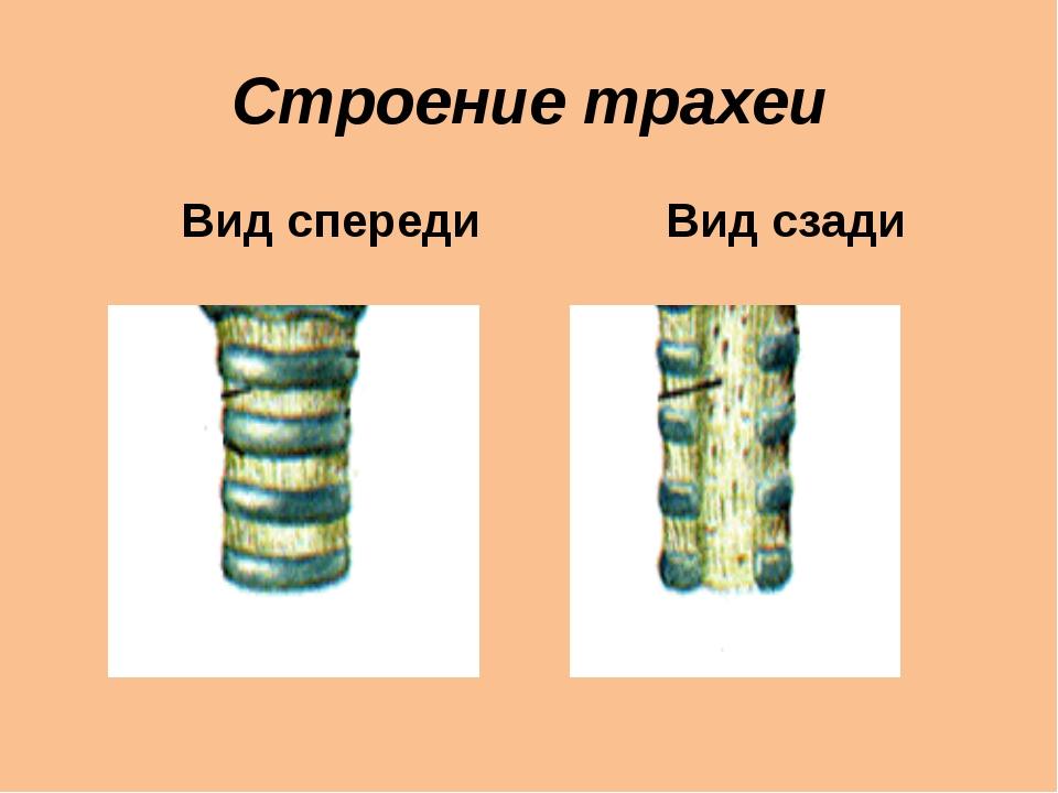 Строение трахеи Вид спереди Вид сзади