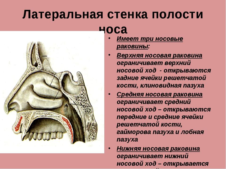 Латеральная стенка полости носа Имеет три носовые раковины: Верхняя носовая р...
