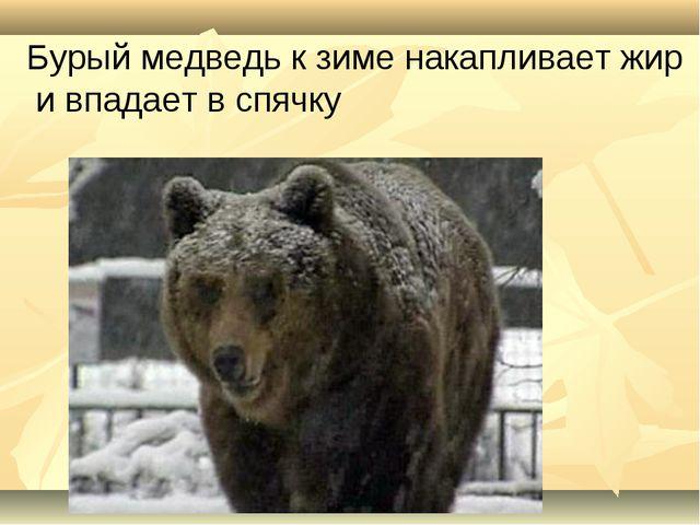 Бурый медведь к зиме накапливает жир и впадает в спячку