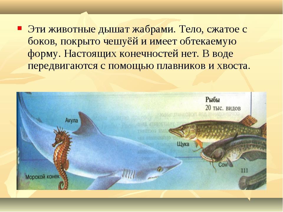 Эти животные дышат жабрами. Тело, сжатое с боков, покрыто чешуёй и имеет обте...