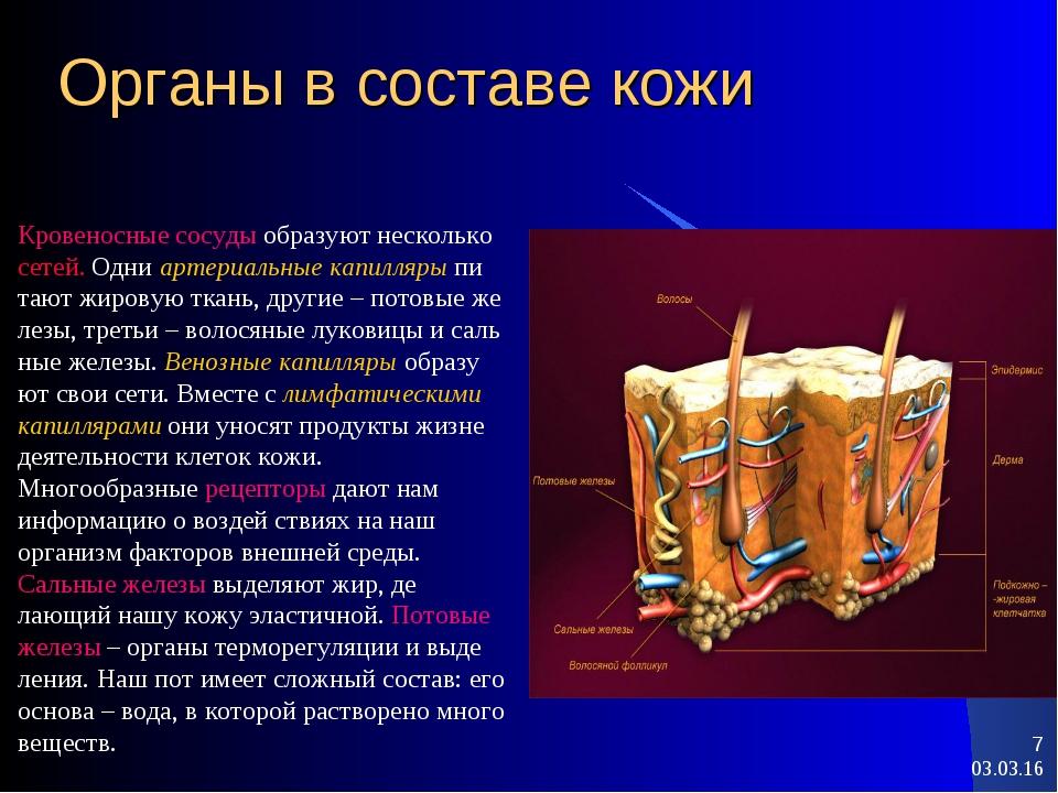 * * Органы в составе кожи Кровеносные сосуды образуют несколько сетей. Одни а...