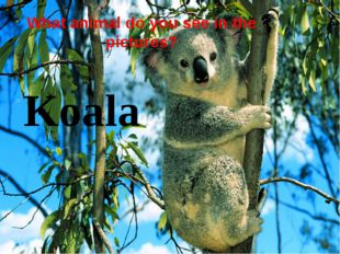 What animal do you see in the pictures? Koala