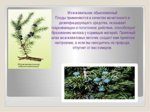 Можжевельник обыкновенный Плоды применяются в качестве мочегонного и дезинфиц