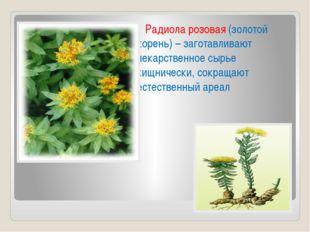 Радиола розовая (золотой корень) – заготавливают лекарственное сырье хищниче