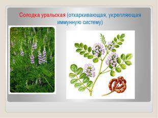 Солодка уральская (отхаркивающая, укрепляющая иммунную систему)