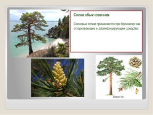 Сосна обыкновенная Сосновые почки применяются при бронхитах как отхаркивающее