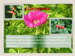 Шиповник Плоды шиповника используются в качестве поливитаминного средства, а