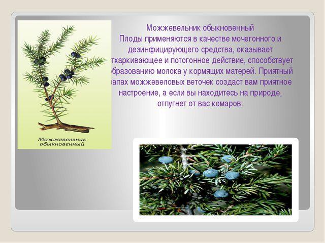 Можжевельник обыкновенный Плоды применяются в качестве мочегонного и дезинфиц...