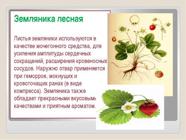Земляника лесная Листья земляники используются в качестве мочегонного средст...