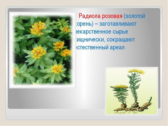 Радиола розовая (золотой корень) – заготавливают лекарственное сырье хищниче...