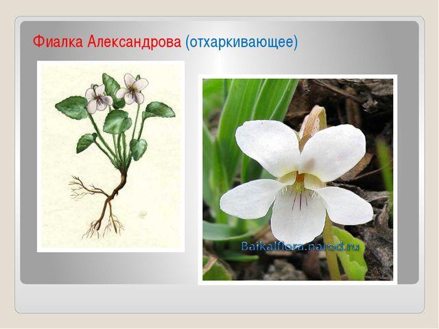 Фиалка Александрова (отхаркивающее)
