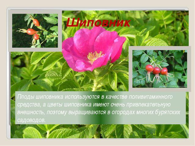 Шиповник Плоды шиповника используются в качестве поливитаминного средства, а...