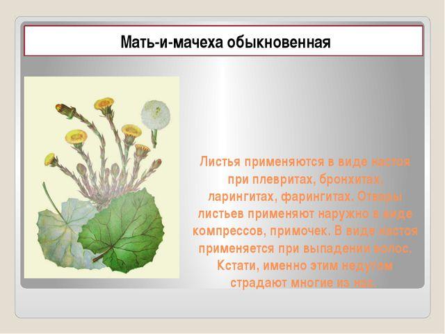 Листья применяются в виде настоя при плевритах, бронхитах, ларингитах, фаринг...
