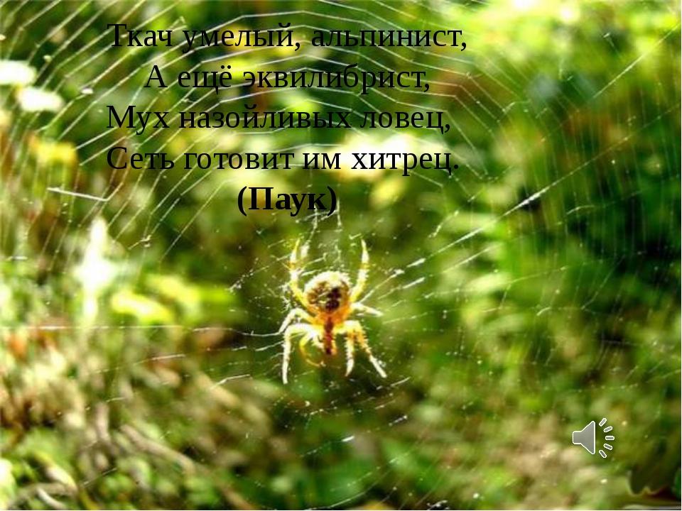 Ткач умелый, альпинист, А ещё эквилибрист, Мух назойливых ловец, Сеть готови...