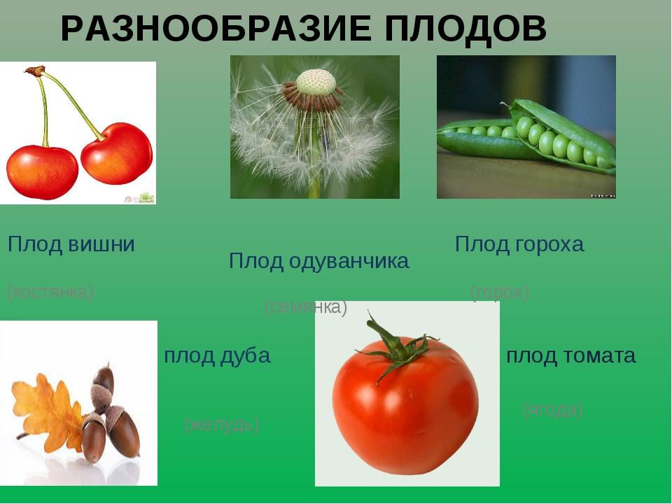 РАЗНООБРАЗИЕ ПЛОДОВ плод томата (ягода) плод дуба (желудь) Плод вишни Плод од...