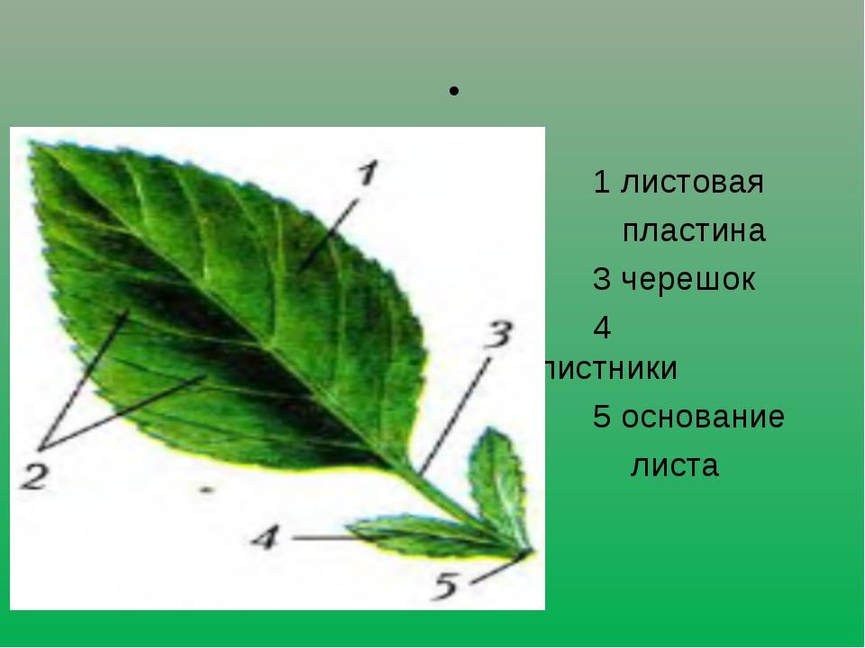Лист 1 листовая пластина 3 черешок 4 прилистники 5 основание листа