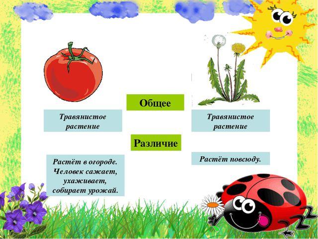 Общее Различие Травянистое растение Травянистое растение Растёт в огороде. Че...