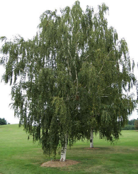 Описание: http://www.treeplanter.com/photos/20.jpg